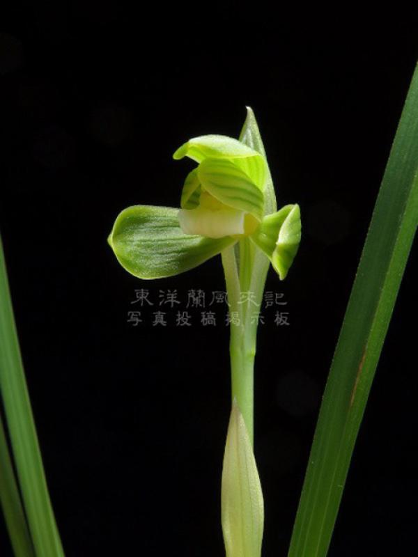 日本春蘭「織姫」          No.2083_d0103457_09312156.jpg