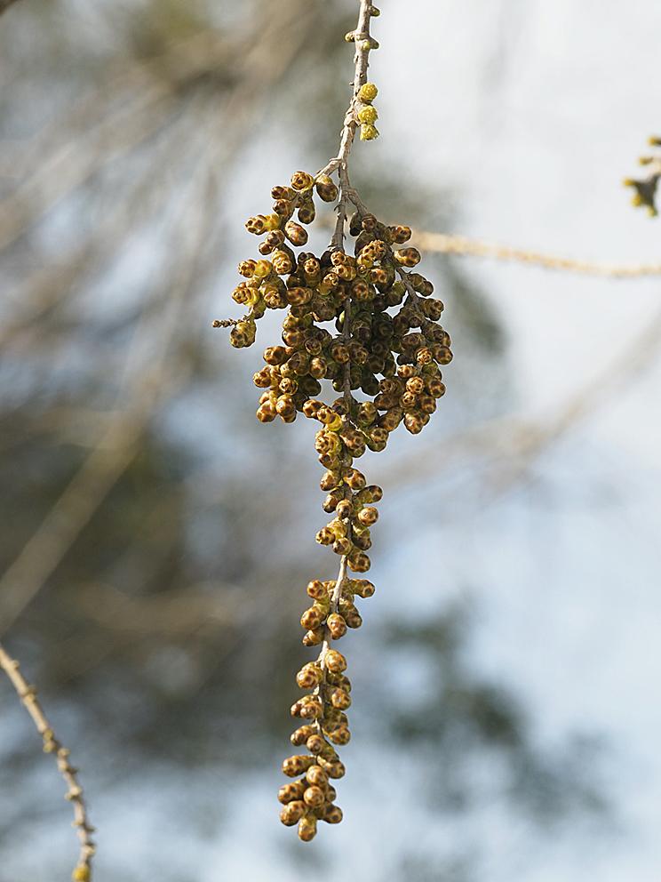 ラクウショウとメタセコイアの花をくらべる(1)_d0163696_19270608.jpg