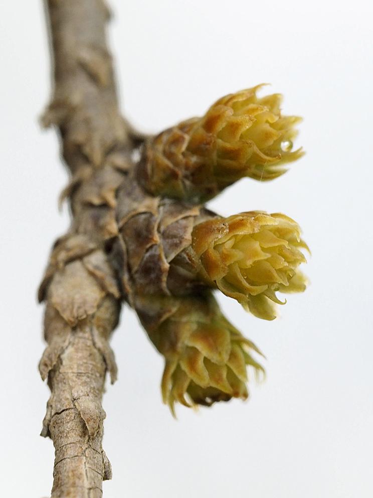 ラクウショウとメタセコイアの花をくらべる(1)_d0163696_19273809.jpg
