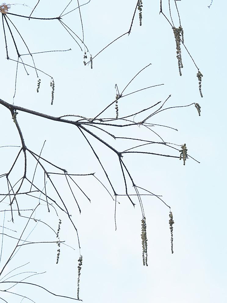 ラクウショウとメタセコイアの花をくらべる(1)_d0163696_19274647.jpg
