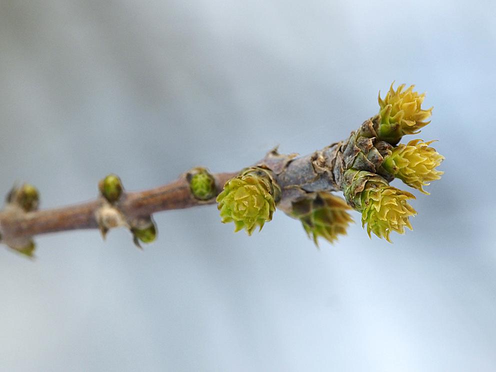 ラクウショウとメタセコイアの花をくらべる(1)_d0163696_19281393.jpg