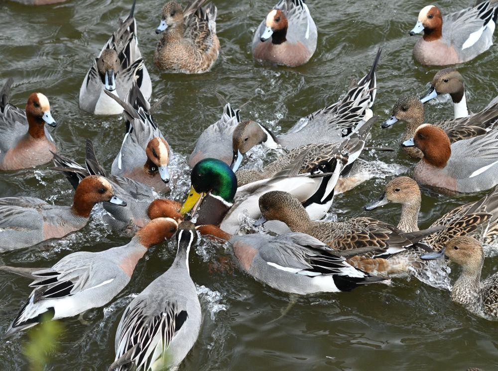 ■ 三島池の冬鳥_d0334796_21511021.jpg
