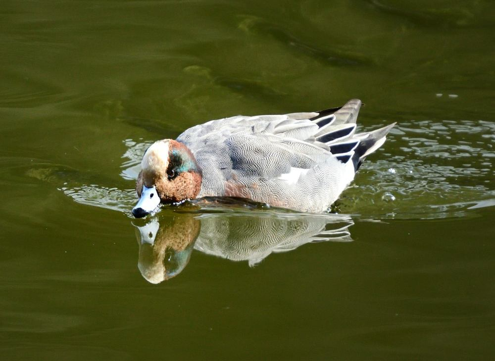 ■ 三島池の冬鳥_d0334796_21511124.jpg