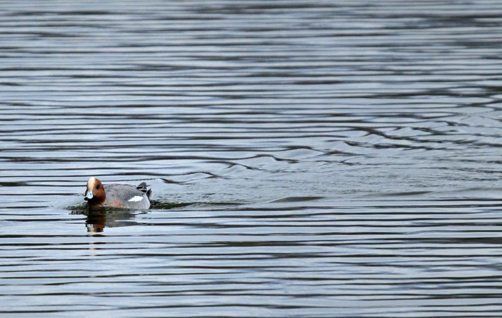 ■ 三島池の冬鳥_d0334796_21511186.jpg