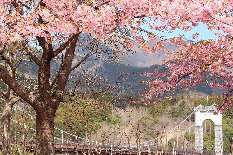 風の吊り橋と満開の河津桜_d0180506_16260726.jpg