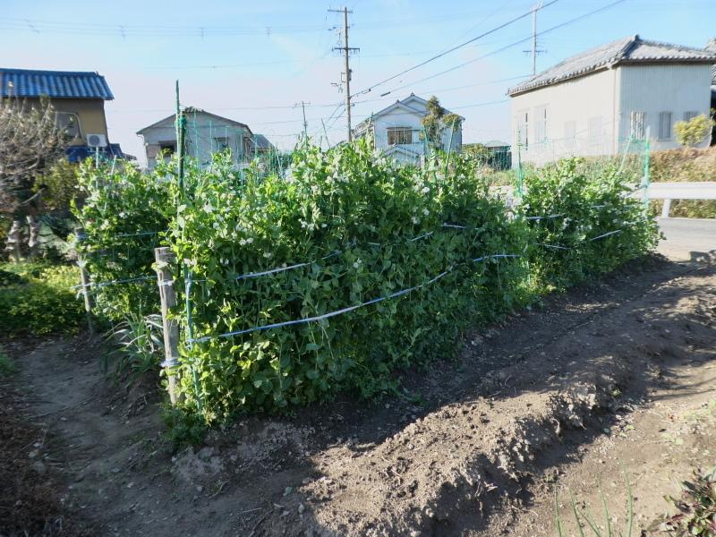 大根の葉切り・・・我が家の農園作業_c0108460_15501974.jpg