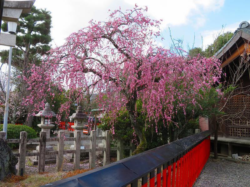 車折(くるまさき)神社境内の桜2021303_e0237645_23070702.jpg