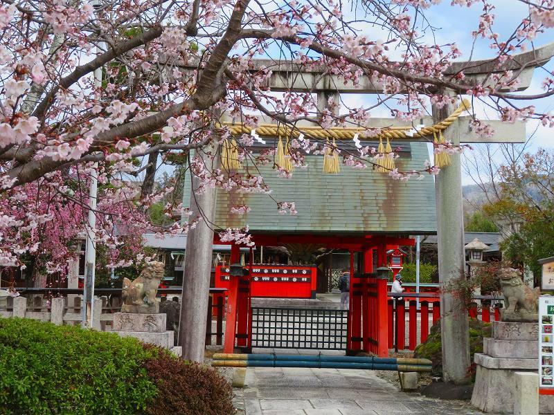 車折(くるまさき)神社境内の桜2021303_e0237645_23070723.jpg