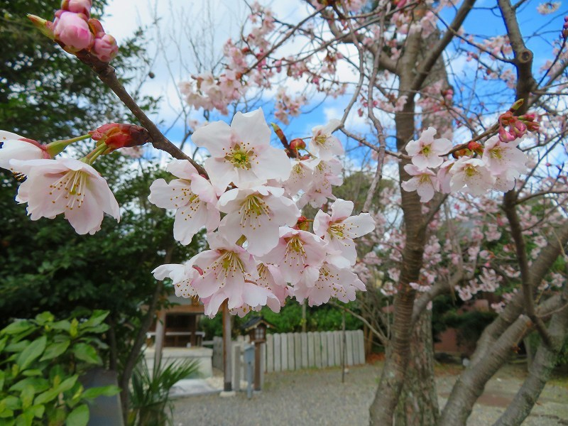 車折(くるまさき)神社境内の桜2021303_e0237645_23070738.jpg