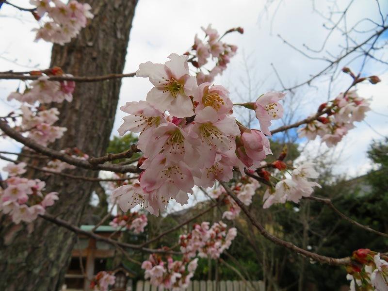 車折(くるまさき)神社境内の桜2021303_e0237645_23070759.jpg
