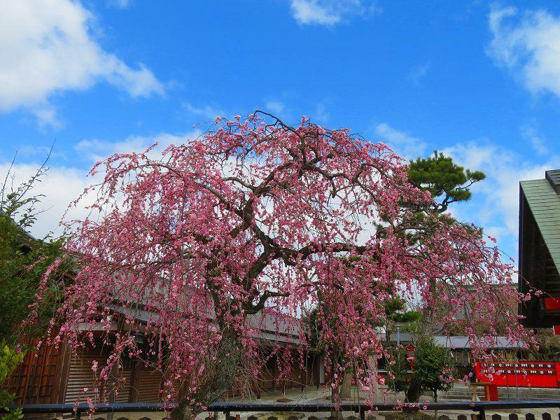 車折(くるまさき)神社境内の桜2021303_e0237645_23070770.jpg