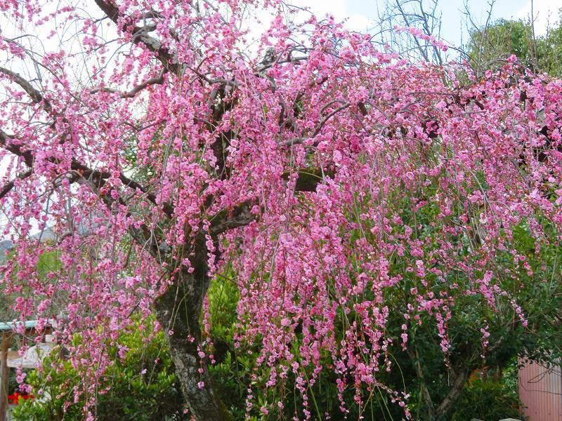 車折(くるまさき)神社境内の桜2021303_e0237645_23073982.jpg