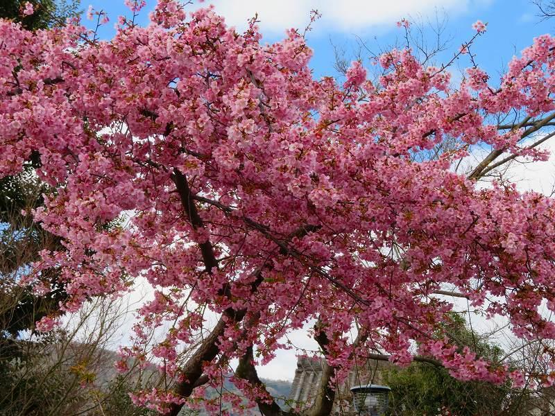 車折(くるまさき)神社境内の桜2021303_e0237645_23074024.jpg