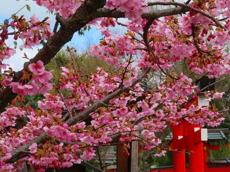 車折(くるまさき)神社境内の桜2021303_e0237645_23074034.jpg