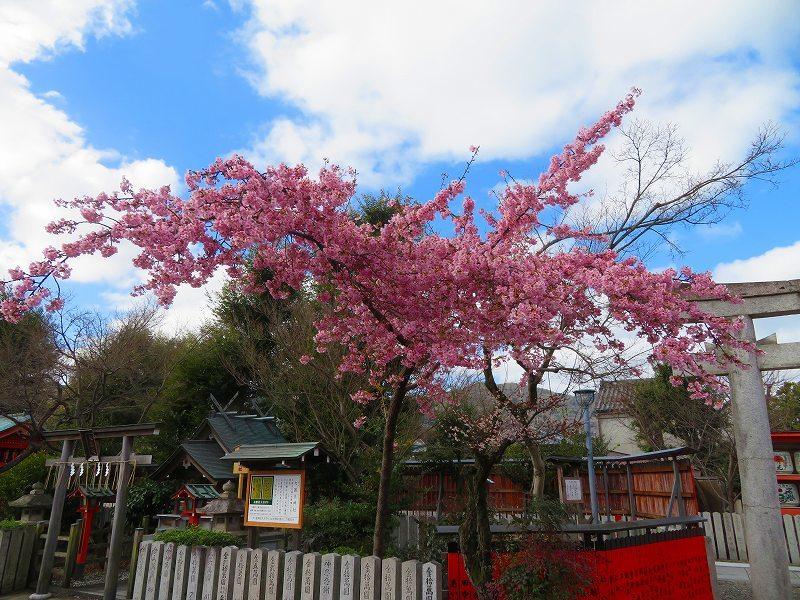 車折(くるまさき)神社境内の桜2021303_e0237645_23074068.jpg