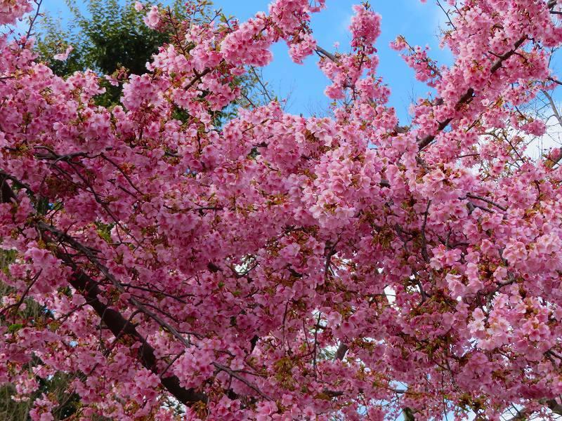 車折(くるまさき)神社境内の桜2021303_e0237645_23074079.jpg