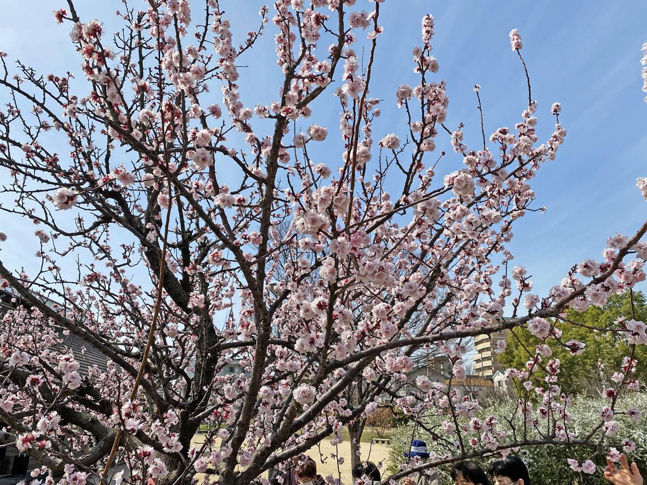 アーモンドの花が満開になった_c0129047_18554213.jpg