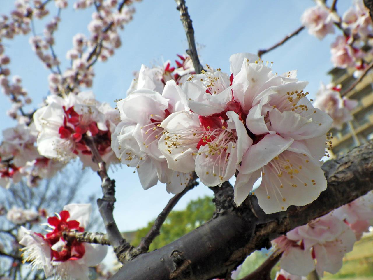 アーモンドの花が満開になった_c0129047_18555745.jpg