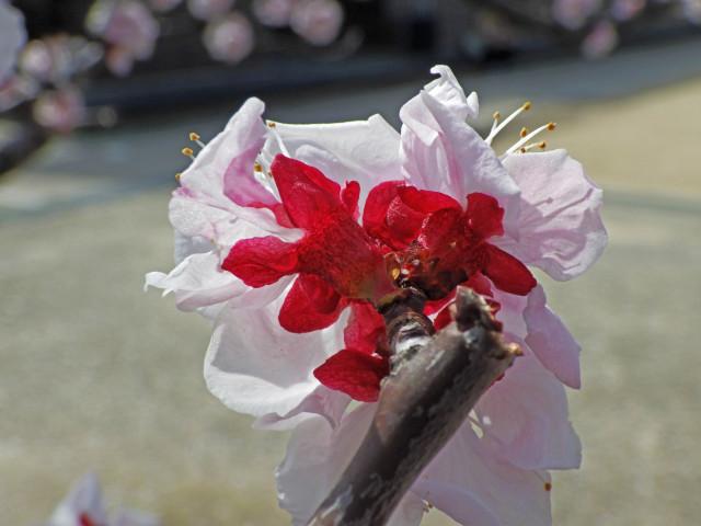 アーモンドの花が満開になった_c0129047_18563324.jpg