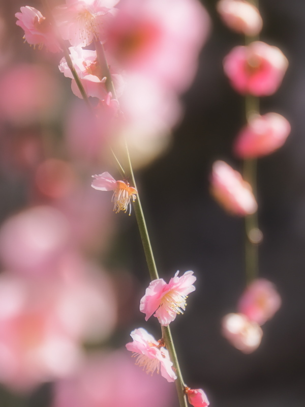 梅 17   京都市_d0286954_05425355.jpg