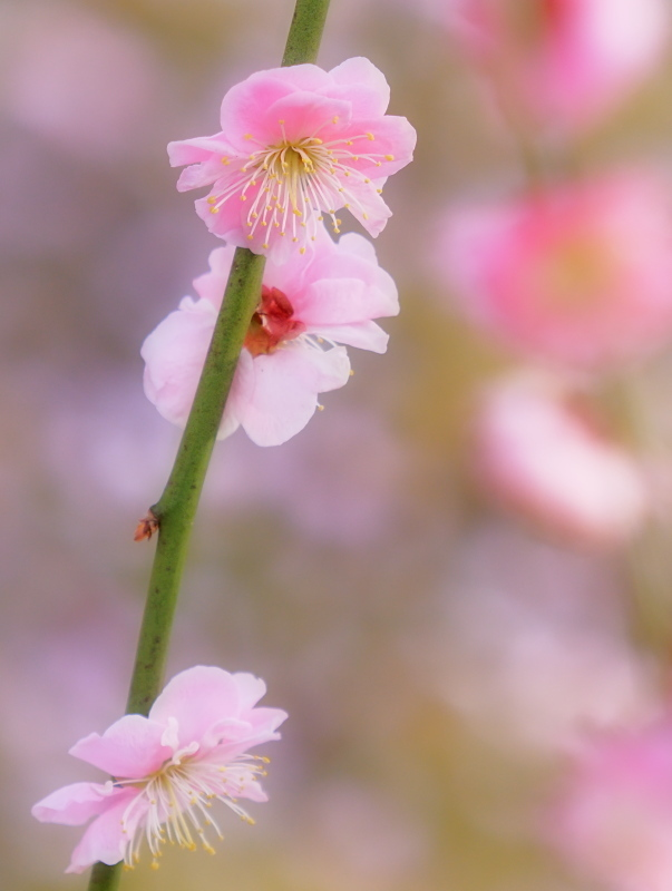 梅 17   京都市_d0286954_05425843.jpg