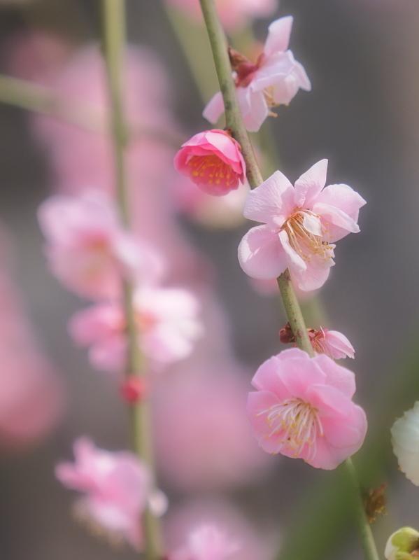梅 17   京都市_d0286954_05430921.jpg