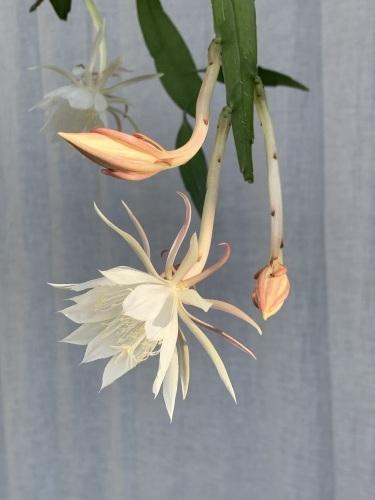 姫月下美人 - Epiphyllum pumilum_e0243332_18490874.jpeg