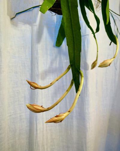 姫月下美人 - Epiphyllum pumilum_e0243332_18513316.jpeg