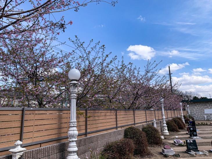 河津桜が咲いています_b0308135_14440772.jpg