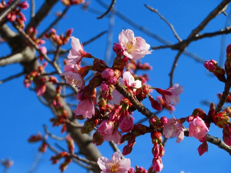 京都ぶらり街歩き(④松原公園の桜)20210228_e0237645_10513268.jpg