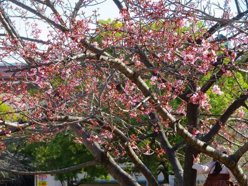京都ぶらり街歩き(④松原公園の桜)20210228_e0237645_10513298.jpg
