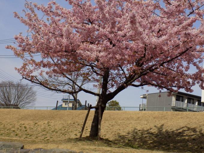 旧中川は河津桜満開_c0249569_11465907.jpg
