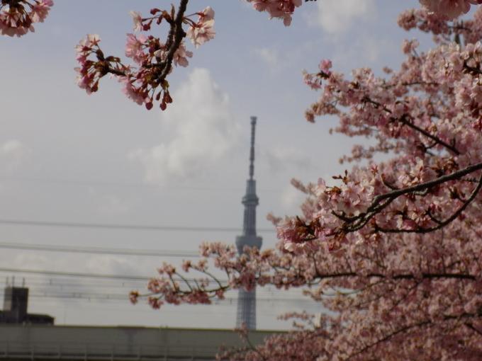 旧中川は河津桜満開_c0249569_11473683.jpg
