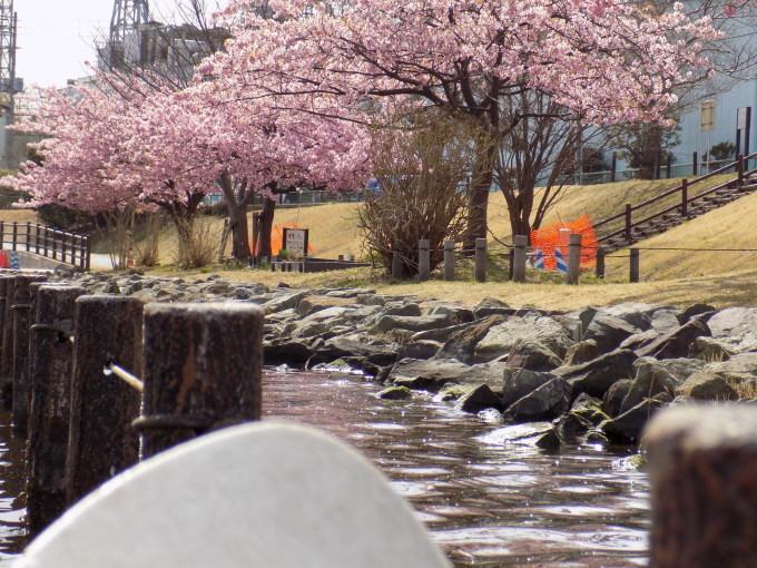 旧中川は河津桜満開_c0249569_11490301.jpg