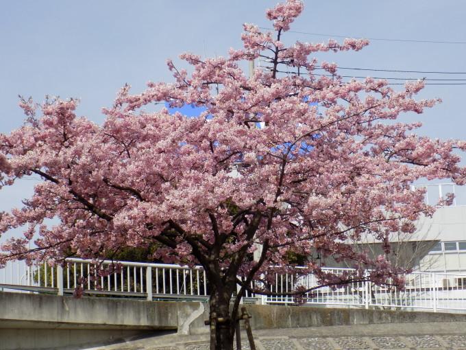 旧中川は河津桜満開_c0249569_11500333.jpg