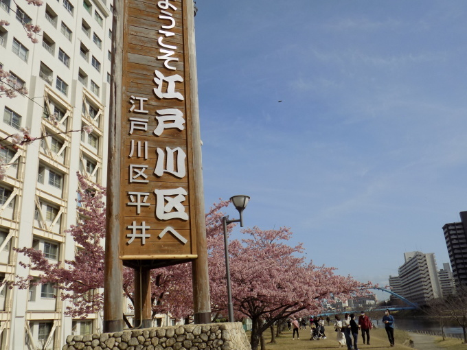 旧中川は河津桜満開_c0249569_11532545.jpg
