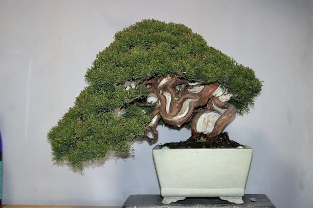 真柏の整枝 - 雨宮園 ~盆栽・山野草・陶芸~ 趣味が仕事でも・・・