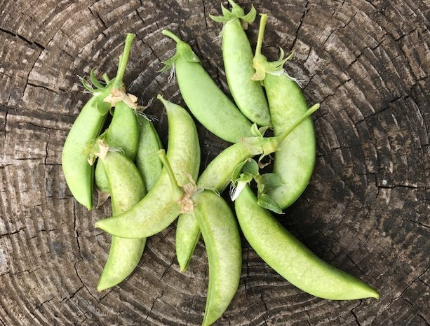 スナップエンドウ初収穫、ブルーベリーに元肥3・5_c0014967_07075107.jpg