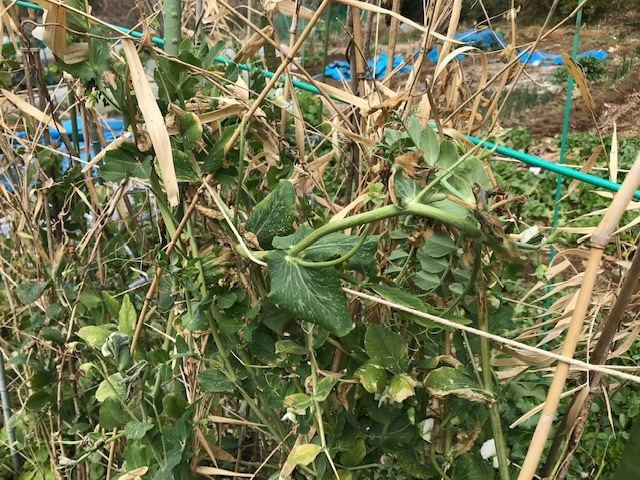 スナップエンドウ初収穫、ブルーベリーに元肥3・5_c0014967_07080900.jpg