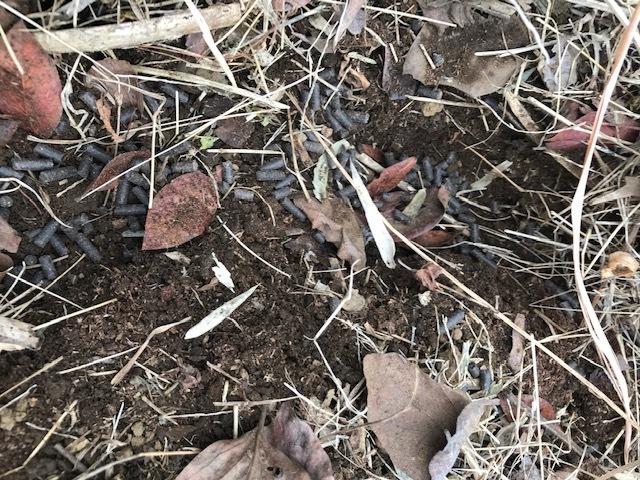 スナップエンドウ初収穫、ブルーベリーに元肥3・5_c0014967_07094153.jpg