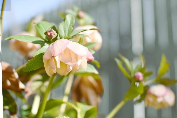 クリスマスローズの咲く庭 2021_d0025294_16140991.jpg