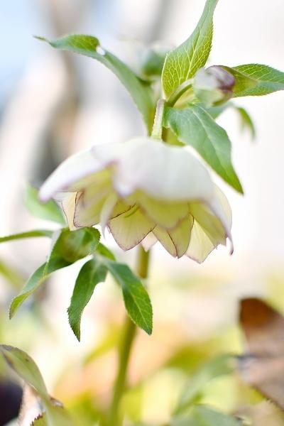 クリスマスローズの咲く庭 2021_d0025294_18425488.jpg