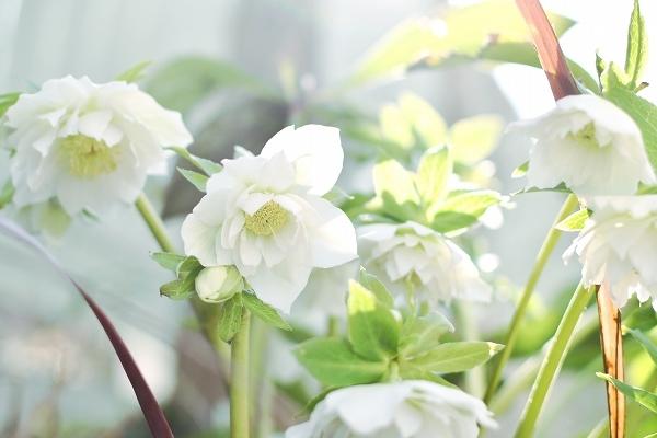 クリスマスローズの咲く庭 2021_d0025294_18433750.jpg