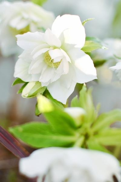 クリスマスローズの咲く庭 2021_d0025294_18440240.jpg