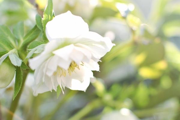 クリスマスローズの咲く庭 2021_d0025294_18442174.jpg