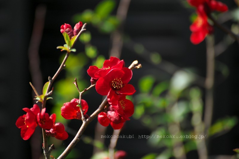 木瓜 黒光_b0003512_17582448.jpg