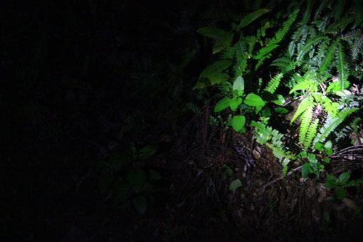 アマミノ夜行性の生き物およそ3~4匹_d0051533_23283689.jpg