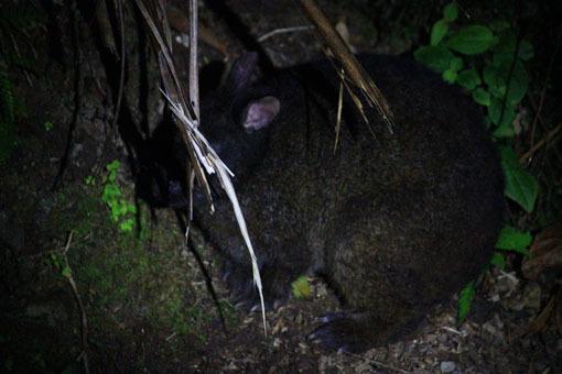 アマミノ夜行性の生き物およそ3~4匹_d0051533_23284354.jpg