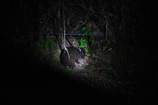 アマミノ夜行性の生き物およそ3~4匹_d0051533_23284968.jpg