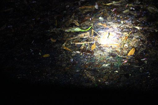 アマミノ夜行性の生き物およそ3~4匹_d0051533_23291313.jpg